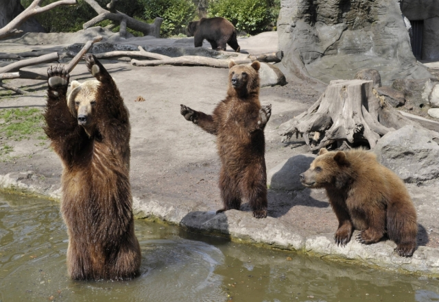 brown-bears-playing-with-a-ball