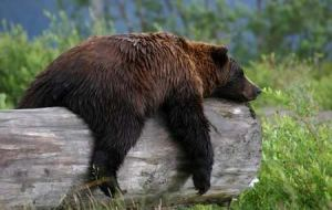 sleeping-bear-on-a-log