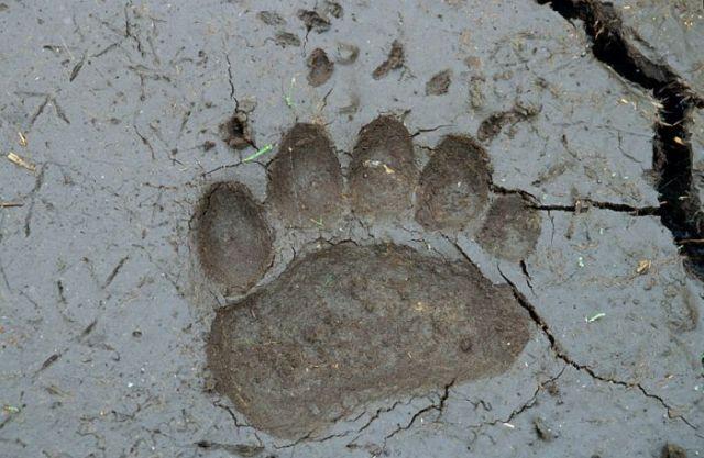 bear-print-5