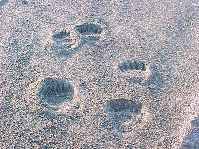 bear tracks 6