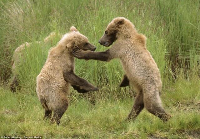 bears play fighting