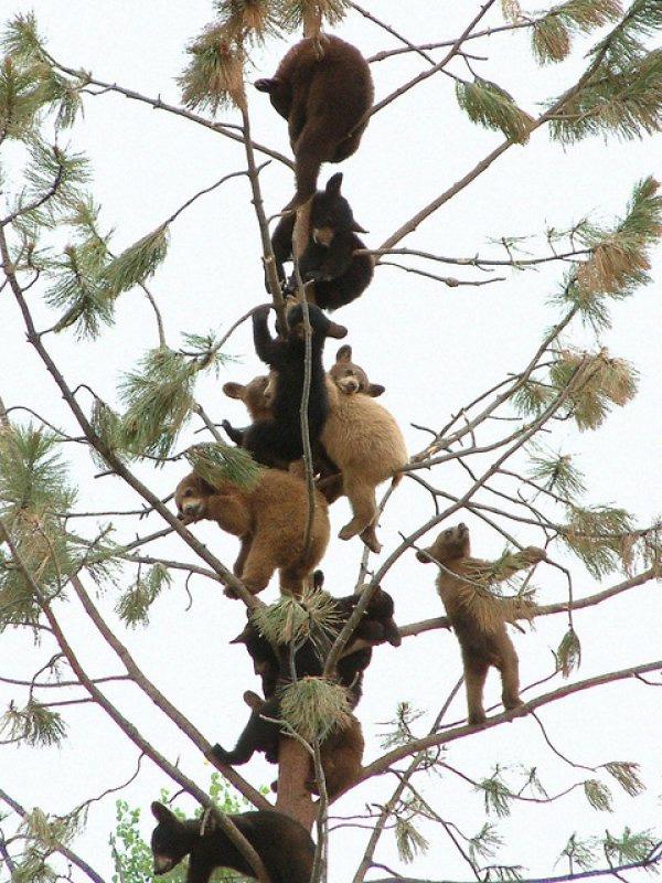 bears_in_trees
