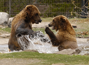 two-bears-splashing