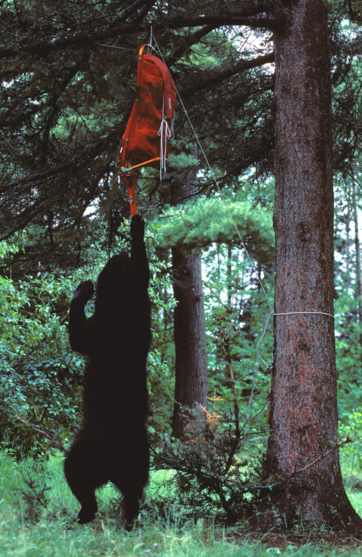 bear_standing_reaching_for_backpack