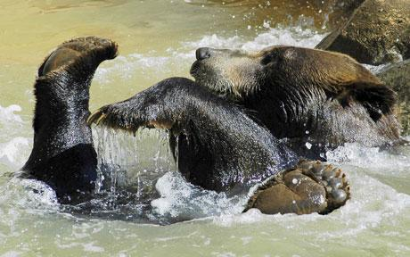 bear_splashing