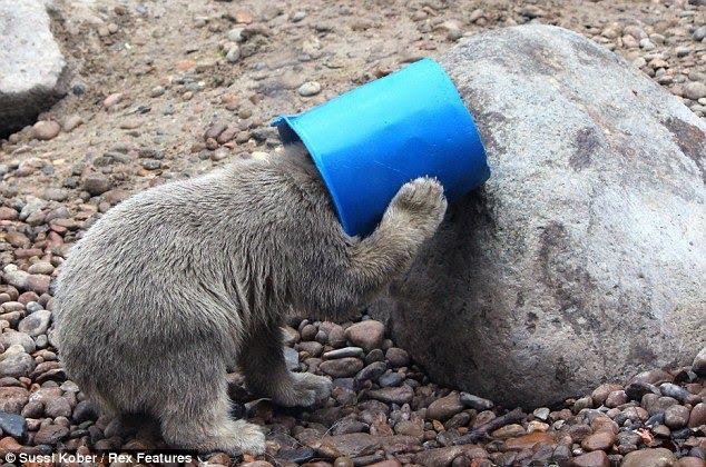 bear-with-head-in-bucket