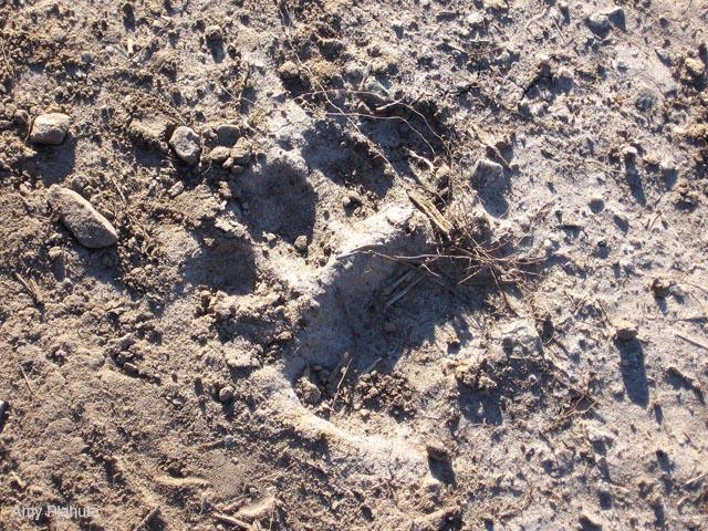 Black Bear front paw print