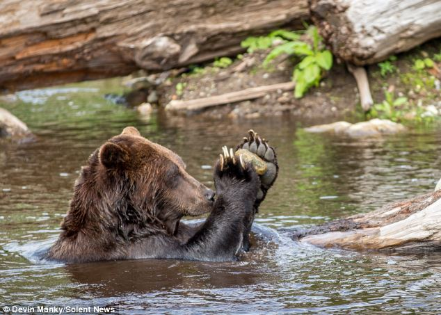 Bear Clapping