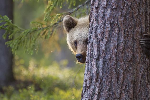 Hiding_Bear