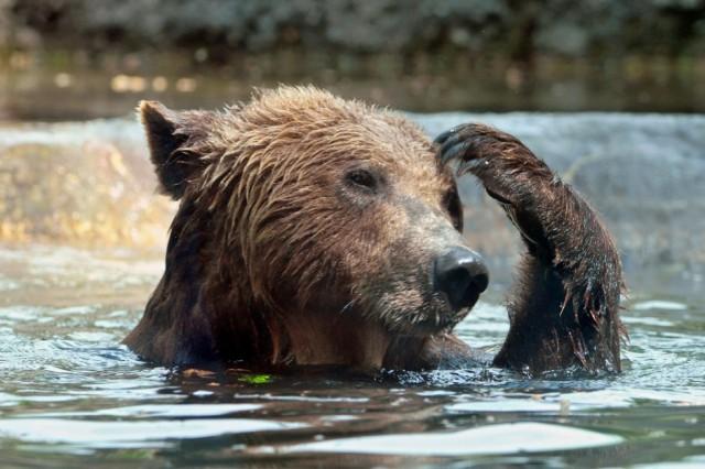 Thinking-Bear