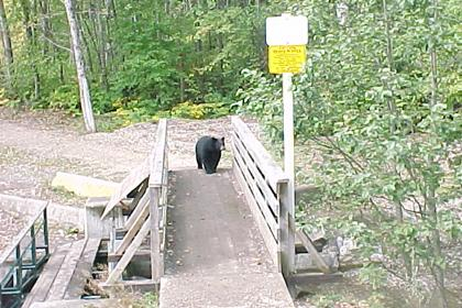 Bear on Bridge