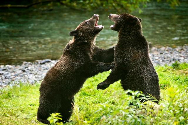 two-grizzly-bears-fighting