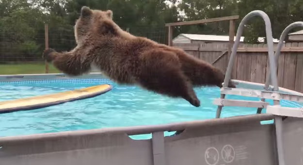 bear-diving-into-pool