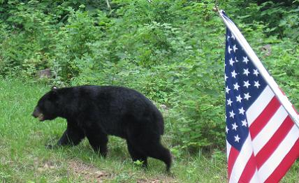 Bear with American Flag
